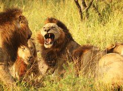 Dave Salmoni: Die Löwen von Sabi Sand Dave Salmoni: Die Löwen von Sabi Sand Staffel 1 Folge 1: Dave Salmoni: Die Löwen von Sabi Sand