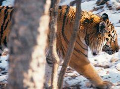 Project C.A.T. - Eine Zukunft für Tiger Project C.A.T. - Eine Zukunft für Tiger Staffel 1 Folge 1: Project C.A.T. - Eine Zukunft für Tiger
