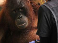Ein Waisenhaus für Orang-Utans Ein Waisenhaus für Orang-Utans Staffel 1 Folge 4: Von alten und neuen Freunden
